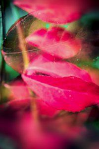 Galerie Ahlemann zeigt ein abstraktes Foto von Claudia Maria Weiser in überwiegend dunkelrosafarbenen Tönen sowie grünen im Hintergrund, auf dem Makroaufnahmen von mehreren Ebenen hintereinander Pflanzenblätter zusehen sind.