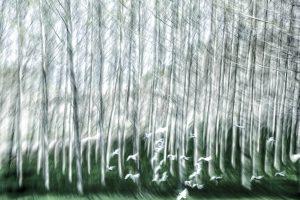 Galerie Ahlemann zeigt ein abstraktes Foto von Petra Jaenicke in schwarzen, weißen und grünen Farbtönen. Das untere Drittel des Bildes zeigt einen dunkelgrünen schemenhaften Waldboden. Dünne, schlanke, schemenhafte Bäume wachsen aus dem Boden nach oben aus dem Bild hinaus. Die Bäume sind in schwarzen, weißen und grauen Tönen dargestellt. Im unteren Drittel im Vordergrund fliegt ein Schwarm weißer Vögel gerade eben in den Wald hinein.