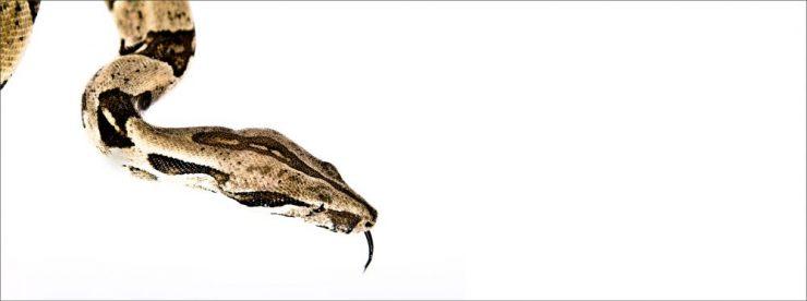 Fotografie des Kopfes einer Schlange auf weißem Untergrund